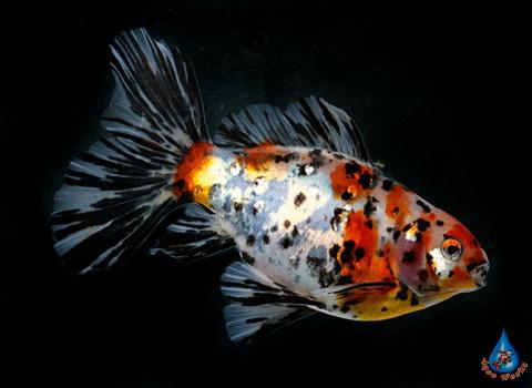 Prudovaya-zolotaya-ryba-Shubunkin